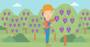 Farmer collecting grapes. A woman harvesting grapes in vineyard vector flat design illustration. Horizontal layout Stock Images