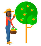 Farmer collecting oranges Stock Photos