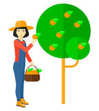 Farmer collecting oranges. Stock Image