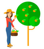 Farmer collecting oranges Stock Photo