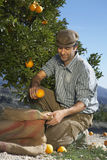 Farmer Collecting Oranges In Sack Stock Image