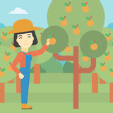 Farmer collecting oranges vector illustration. Stock Photos