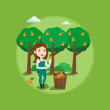 Farmer collecting oranges vector illustration. Stock Photo