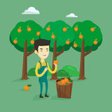 Farmer collecting oranges vector illustration. Royalty Free Stock Photography