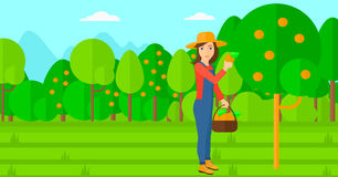 Farmer collecting oranges. Royalty Free Stock Image