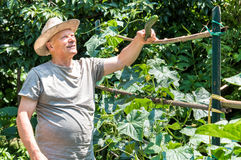 A farmer collecting organic cucumbers Royalty Free Stock Image