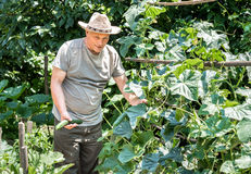 A farmer collecting organic cucumbers Royalty Free Stock Photography
