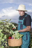 Farmer collecting Royalty Free Stock Image