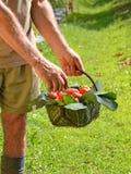 Farmer collecting tomato Stock Image