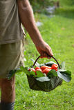 Farmer collecting tomato Royalty Free Stock Images