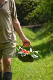 Farmer collecting tomato Royalty Free Stock Photography