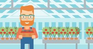 Farmer collecting tomatos. Royalty Free Stock Image