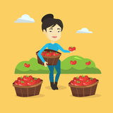 Farmer collecting tomatos vector illustration. Royalty Free Stock Photos