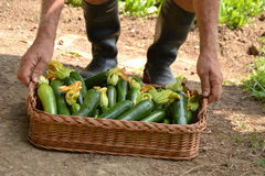 Farmer collecting zucchini Royalty Free Stock Images