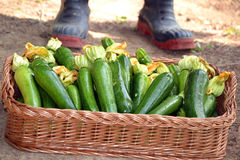 Farmer collecting zucchini Stock Photography