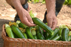 Farmer collecting zucchini Royalty Free Stock Photos