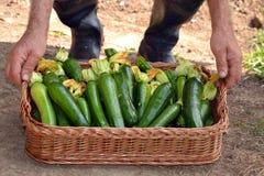 Farmer collecting zucchini Stock Image
