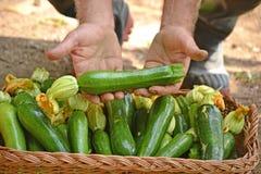 Farmer collecting zucchini Stock Photo