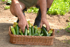 Farmer collecting zucchini Royalty Free Stock Photography
