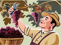 Farmer collects bunches of freshly harvested ripe grapes. In his vineyard Stock Images