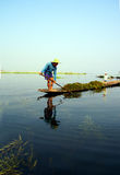 Farmer collects lake grass. INLE LAKE, MYANMAR - MAR 1, 2015 - Farmer collects lake grass seaweed to fertilize his floating garden on  Inle Lake,  Myanmar (Burma Royalty Free Stock Photo