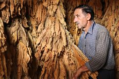 Farmer controls dry tobacco leaf Royalty Free Stock Photos