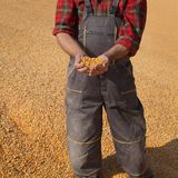 Farmer and corn crop royalty free stock image