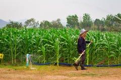 Farmer With Corn Field Background. Farmer walking in corn field Royalty Free Stock Photos