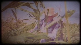 A farmer in a corn field. An elderly man in a straw hat and waistcoat walks through a corn field and checks the harvest. Video archive. Retro camera 8 mm. Old stock footage