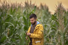 Farmer in corn field stock image