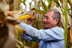 Farmer at corn harvest Stock Image