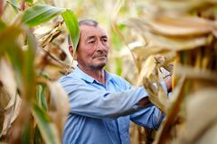Farmer at corn harvest Stock Photography