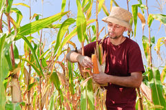 Farmer in the cornfield Stock Image
