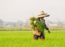 farmer corp rice Stock Image