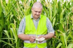 Farmer counting money on corn field Stock Photos