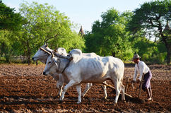 Farmer with cow for plowing towing on paddy Royalty Free Stock Photos