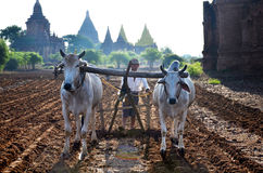 Farmer with cow for plowing towing on paddy Stock Photos