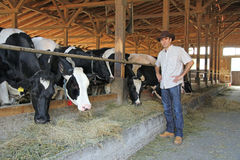 Farmer and cows. In cowshed royalty free stock photography