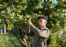 Farmer cropping quinces Royalty Free Stock Photography