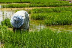 Farmer cultivate rice in farmland Royalty Free Stock Photos