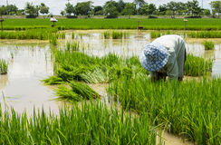 Farmer cultivate rice in field Stock Photos