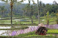 Farmer cultivates his paddy field in Indonesia. Indonesia is one of the world's leading rice-producing countries. Image taken in Bali, where a farmer was working Stock Photography
