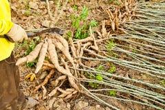 The farmer cutting cassava bulb Stock Photos