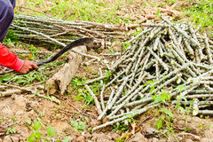 The farmer cutting cassava tree Royalty Free Stock Photography