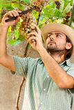 Farmer Cutting Grapes Stock Photo