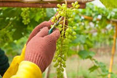 Farmer Cutting Grapes Royalty Free Stock Photos