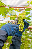 Farmer Cutting Grapes. Farmer Cutting a Yellow Bunch of Grapes with Shears Stock Images