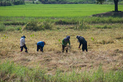 Farmer cutting rice Stock Images