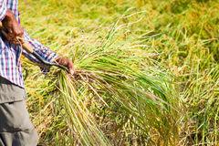Farmer cutting rice in paddy Royalty Free Stock Images