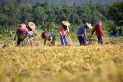 Farmer cutting rice in paddy. Thailand Royalty Free Stock Image